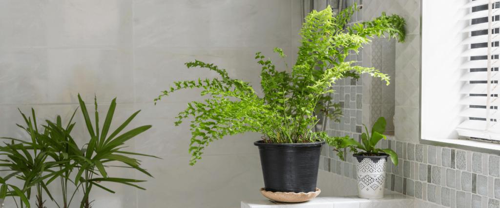páfrány szobanövény