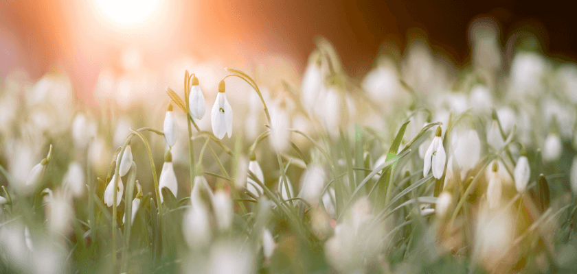 tavaszi virágzás - hóvirág
