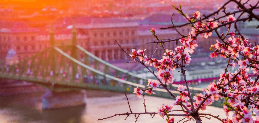 tavaszi virágzás - mandulafa