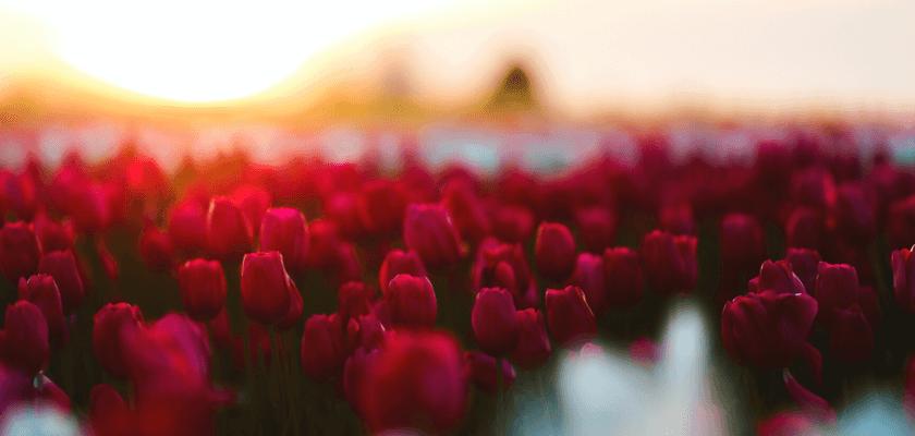 tavaszi virágzás - tulipán