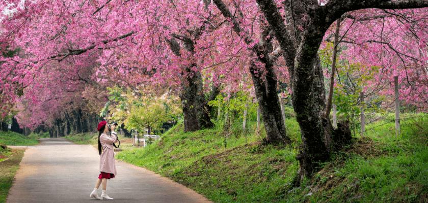 a sakura fogalma