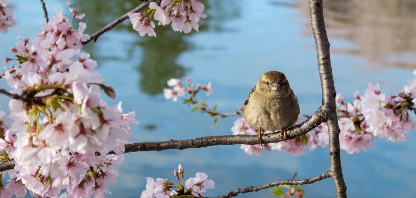 japán tavasz